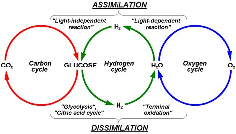 why is ozone an important form of oxygen hydrogen cycle wikipedia