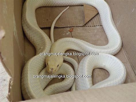 ular kobra putih ditemukan majalengka majalengka dunia maya