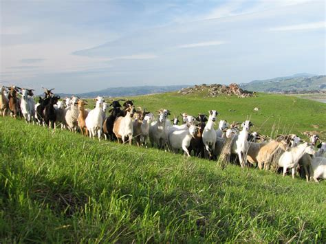 animals green animal nature grass goat goat herd goat