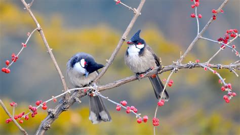 red whiskered bulbul birds wallpapers hd wallpapers id