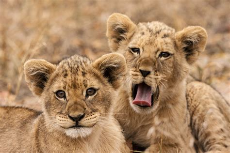 lions  critically endangered  west africa