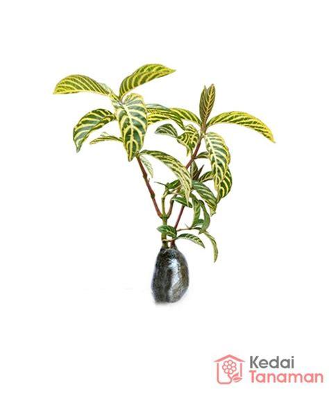 jual tanaman hias daun aphelandra kuning  lapak