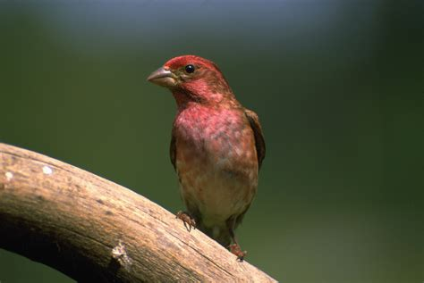 new hshire state bird name pictures to pin on pinterest