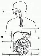 Hd wallpapers printable blackline diagram of the respiratory system hd wallpapers printable blackline diagram of the respiratory system ccuart Choice Image