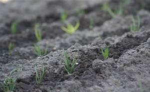 Quand Planter Lavande Dans Jardin : planter des chalotes quand et comment faire ses plantation d 39 chalotes ~ Dode.kayakingforconservation.com Idées de Décoration