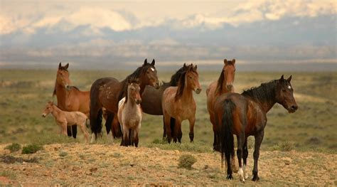 wild horses horse american wyoming herd north mustangs columbus blm ken mustang america arizona destroying spanish alert government valuable itself