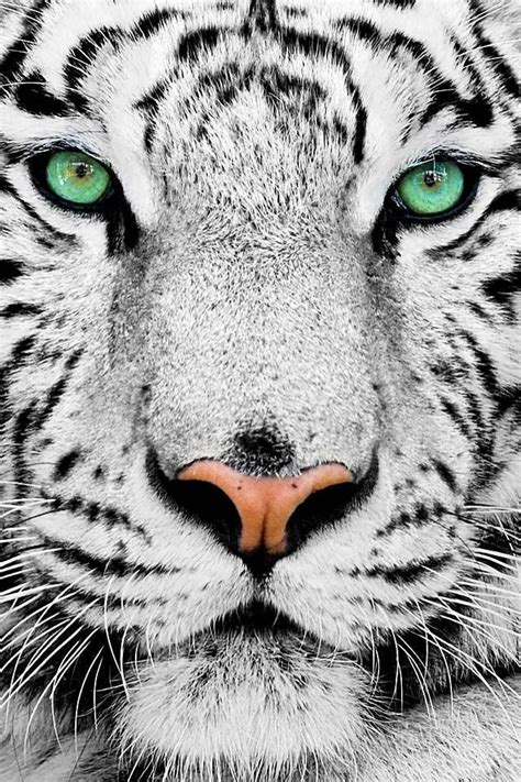 Green Eyes White Tiger Not Commen Cute Animals