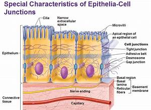 Detailed Features Of Epithelia
