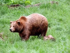 Brown Bear Mammal  U00b7 Free Photo On Pixabay