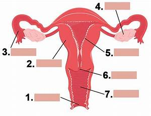 Diagram Female Reproductive System Pictures Real