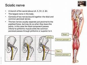 Applied anatomy sciatic nerve injury