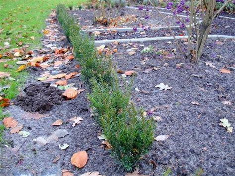 spritzmittel gegen buchsbaumpilz gartentipps gartencenter schittenhelm buchsbaumkrankheit cylindrcladium buxicola teil ii