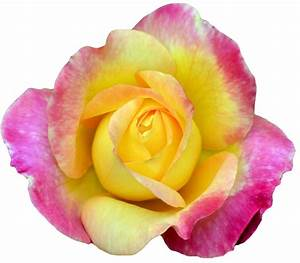 "Hybrid Tea Rose. ""Love and Peace."" (x)."