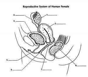 Female Reproductive System Diagram Unlabeled Side View