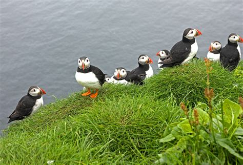 the puffins of mykines in the faroe islands the culture map