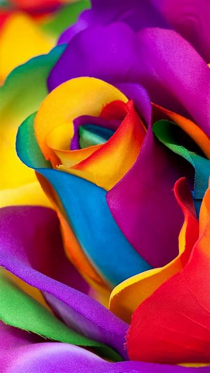 Multicolor Flower Mobile Rose Wallpapers Macro Closeup