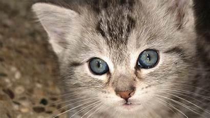 Cat Wallpapers Cats Kitten Kittens Background Desktop