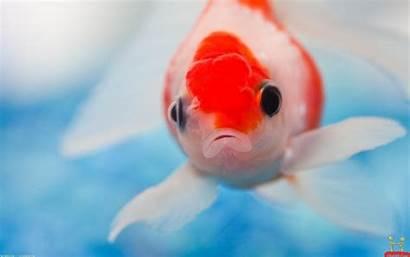 Fishes Wallpapers Fish Fishy Goldfish Colorful Desktop