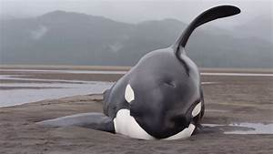 Killer Whales Beached While Hunting for Seals - Prince ...