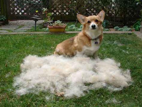 dog brush  corgi