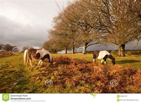 dartmoor wild ponies devon national park preview