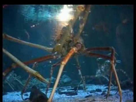 monsterkrabbe europas groesste krabbe  youtube
