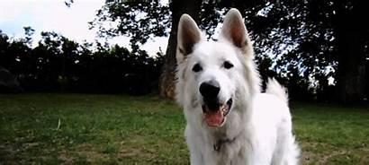 German Shepherd Berger Gifs Dog Suisse Blanc