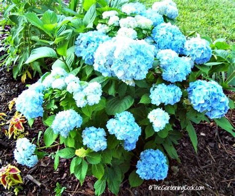 hydrangea bushes coffee grounds are great for camellias hydrangeas roses