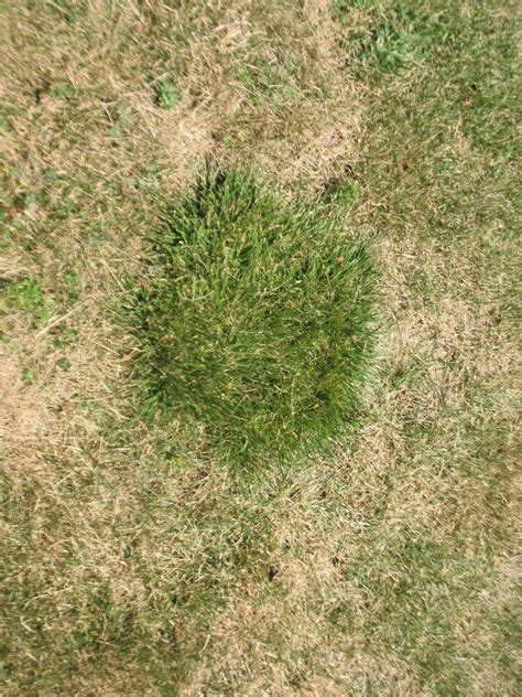 grass that spreads identification what kind of lawn grass doesn t spread and is exceptionally shade tolerant