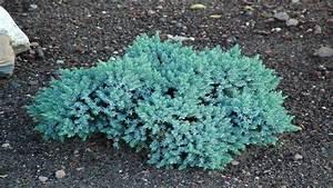 Blue star juniper, juniperus squamata blue star juniperus ...