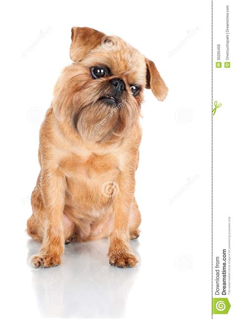 do brussels griffon shed a lot brussels griffon images breeds picture