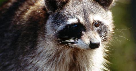 how to deter skunks raccoons from digging in your garden