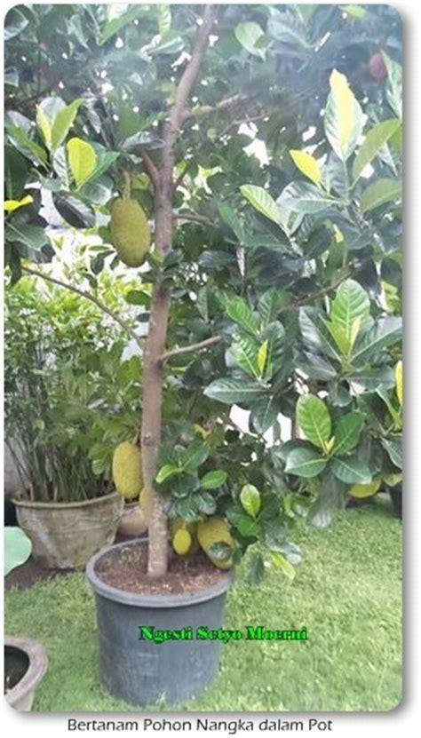 menanam nangka pot bisa berbuah mudah oleh ngesti