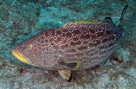 grouper yellowfin noaa types florida mycteroperca fish juvenile flower underwater source fishes flowergarden gov