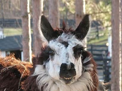 Farm Alpaca Llama Cross Animals Adorable Animal