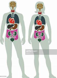 Human Internal Organ Diagram High-res Vector Graphic