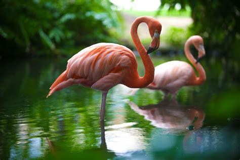 meet  famous flamingos  dreams punta cana day