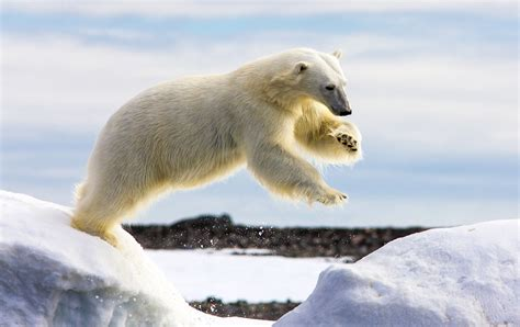 Where Do Polar Bears Live For Kids Wwwimgkidcom The