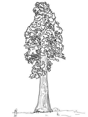 giant sequoia sentinal tree coloring page supercoloringcom