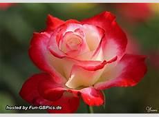 Rosen Grußkarten Bilder Grüße Facebook BilderGB Bilder