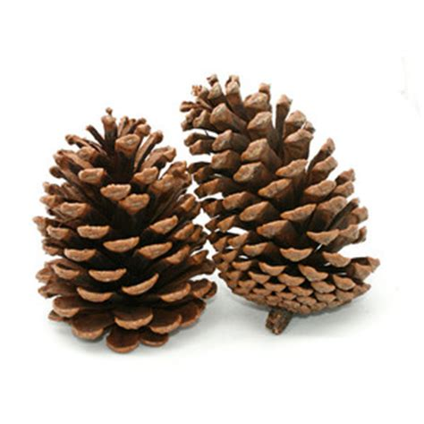 HD wallpapers pine cone home decor