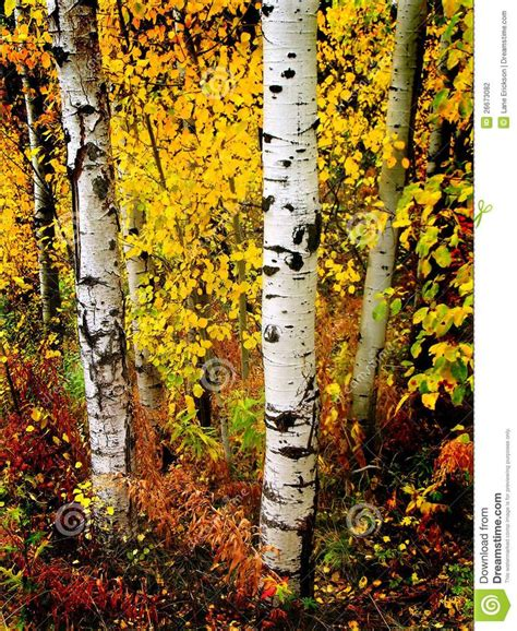 trees with yellow leaves in fall 57 best images about four seasons of birch trees on