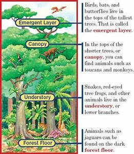 Layers Of The Rainforest Diagram