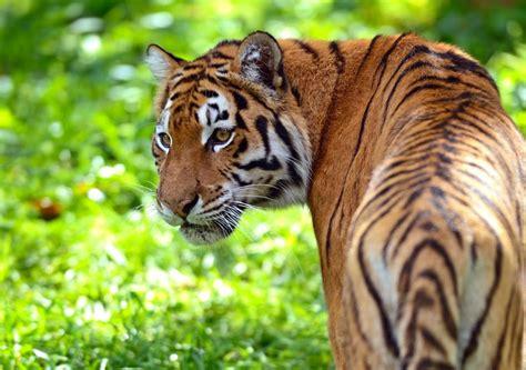 Tigre Ecologia Caracteristicas Subespecies Fotos