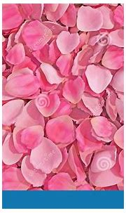 Background Texture Of Beautiful Delicate Vibrant Pink Rose ...