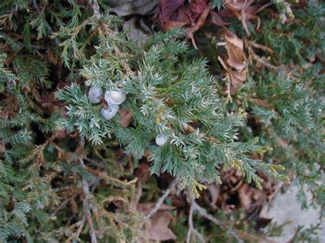 japanese garden juniper