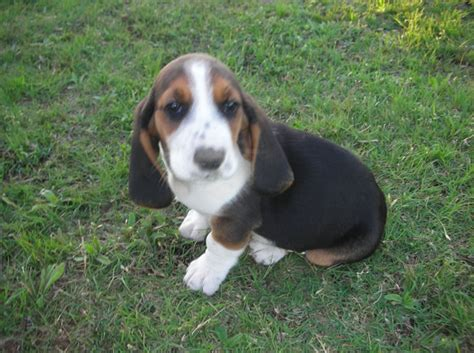 basset hound colors d s ranch basset hounds puppies for sale
