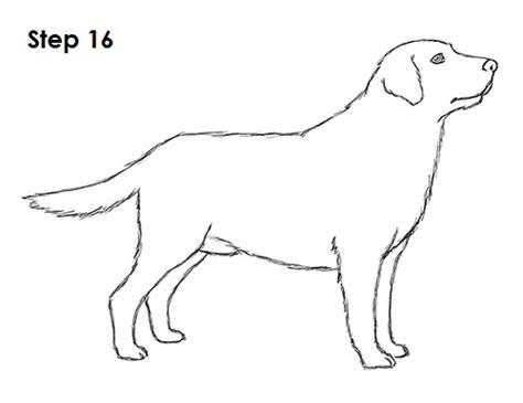 draw  dog labrador retriever