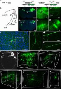 Anterograde Monosynaptic Transneuronal Tracers Derived