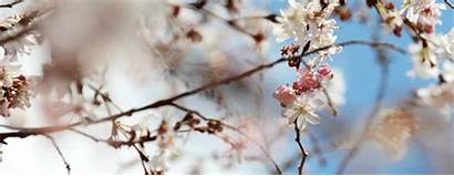 Blossom Cherry Spring Blossoms Japanese Nature Trees